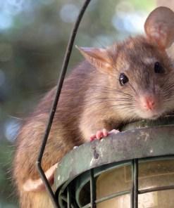 Mittel gegen Ratten, Mäuse