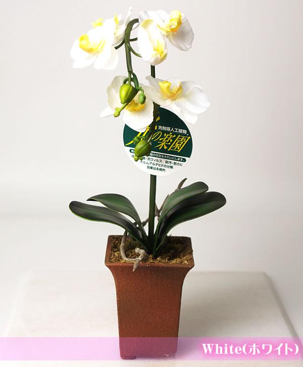 hikarinorakuen: 催化劑光天堂蘭花盆栽選舉吃三種顏色 (白色/薰衣草/黃色) | 日本樂天市場