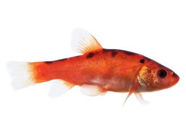 Goldschleie Zierfisch für Teich