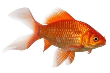 Goldfische für den Teich