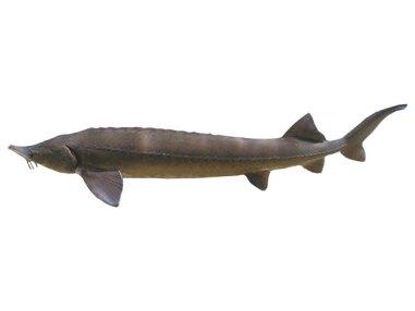 Sibirischer Stör ca. 140 - 150cm