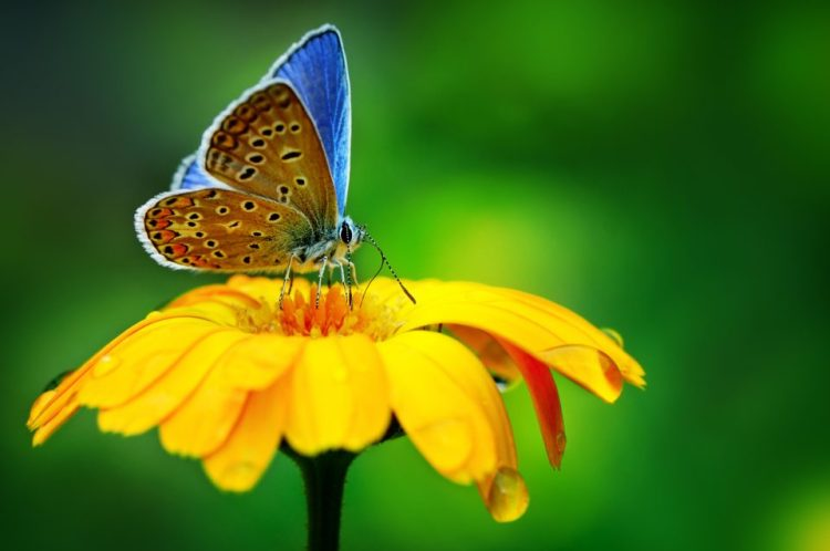 blue butterfly on yellow flower at Birdsong Nature Center