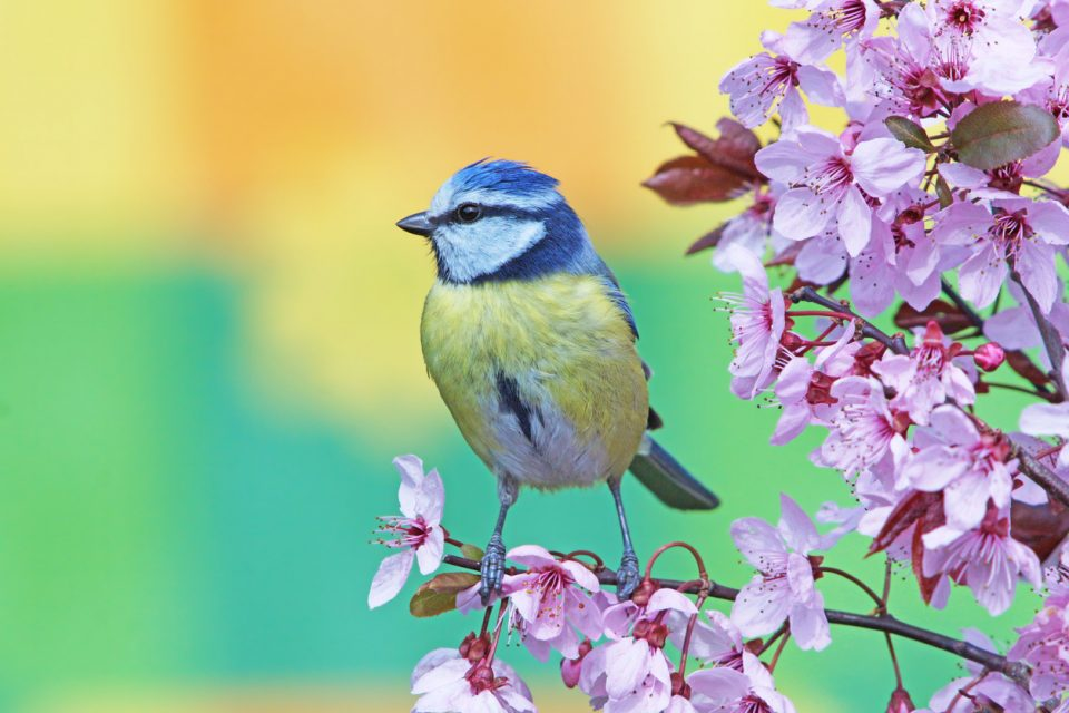 Blue bird at at Birdsong Nature Center