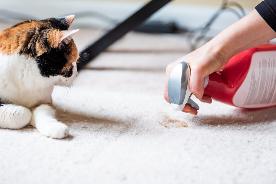 Owner cleaning stain on carpet while cat watches