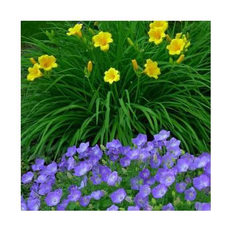 Fiori bluviola e gialli estivi  Vivaio online Un