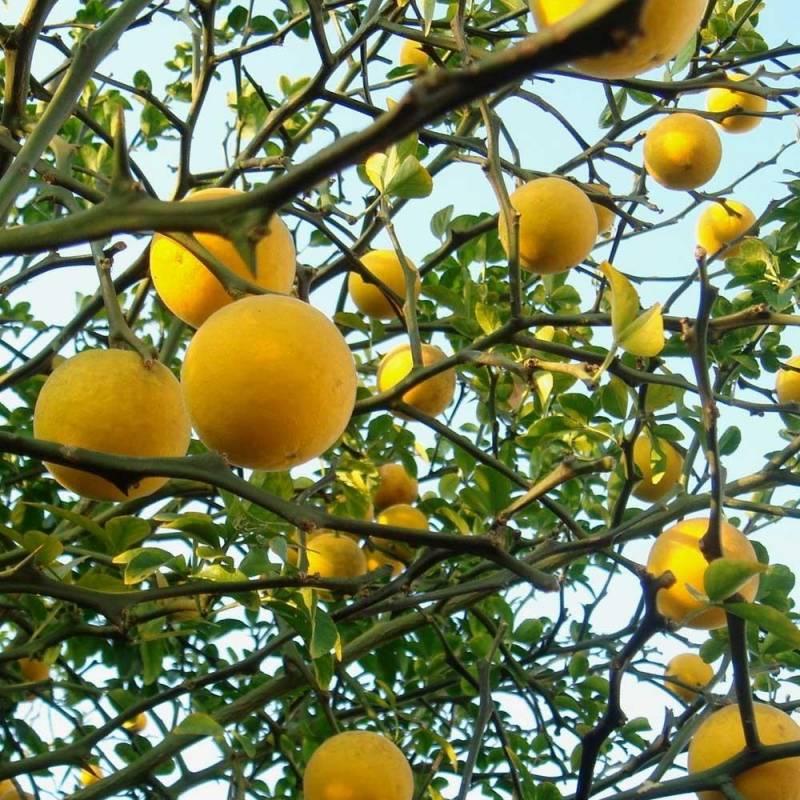 Poncirus Trifoliata Citrus triptera arancio trifogliato