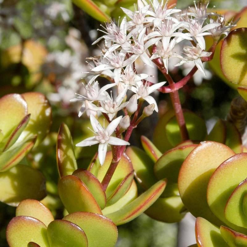 Crassula ovata Albero di giada pianta dei soldi