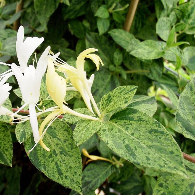 Lonicera japonica Mint Crisp  Vivaio online Un Quadrato