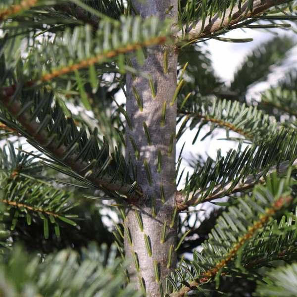 Unsere Weihnachtsbäume