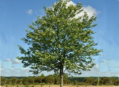 british trees for sale