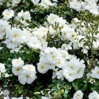 Groundcover Rose 'Flower Carpet White'