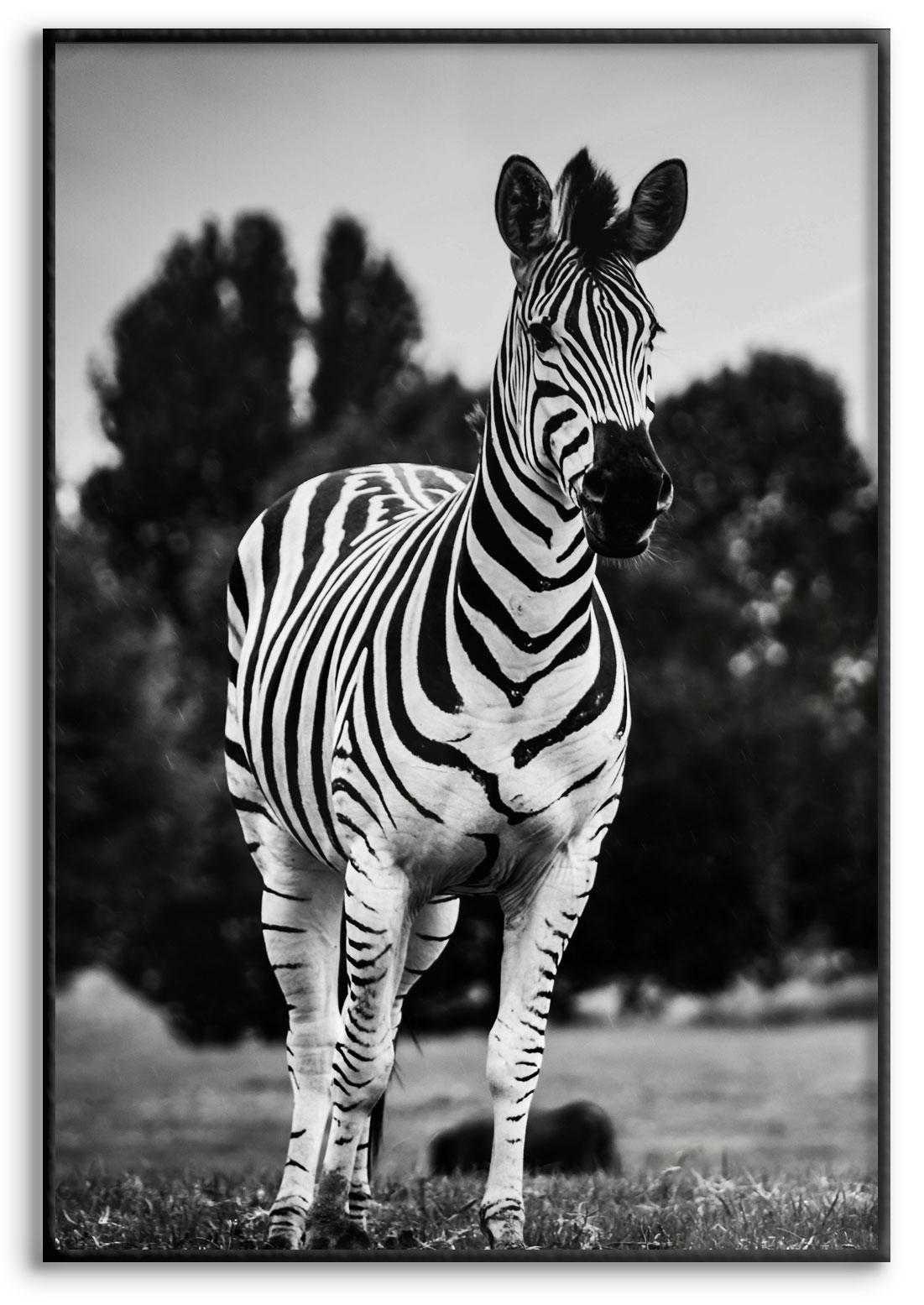 Zebra Springer