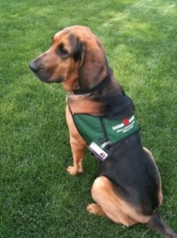 2010-05-05-daisy-in-therapy-dog-vest-002-225x300