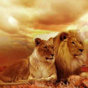 Schilderen op Nummer | Twee Leeuwen 40x50cm - Exclusief Lijst (24 kleurtjes)