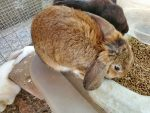 Mini Lop chestnut and black $15