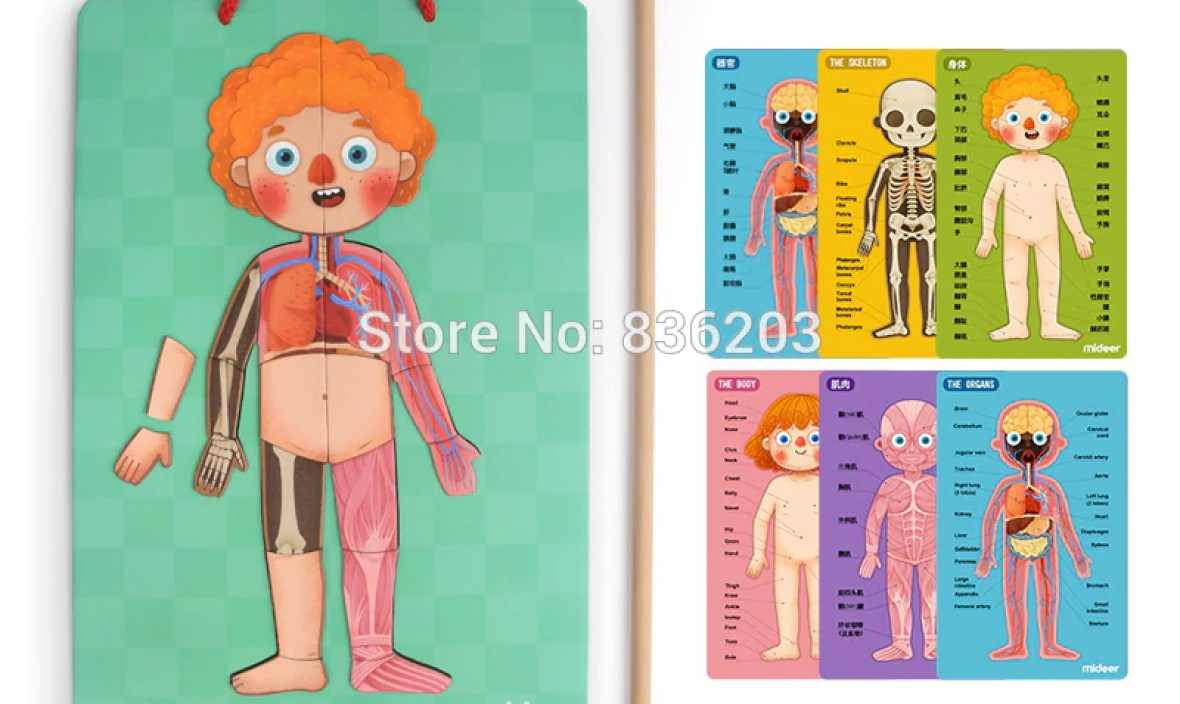 Mideer 3D Magnetic Human Body Model in trauma anatomy skeleton dental anatomical condoms medical instruments training manikin