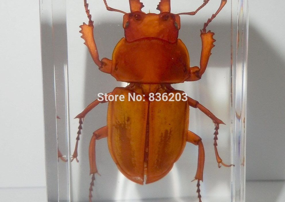 Golden Brownish Stag Beetle in Clear Acrylic Scientific  anatomy anatomical traumatic gun buy medical instruments condoms Specim