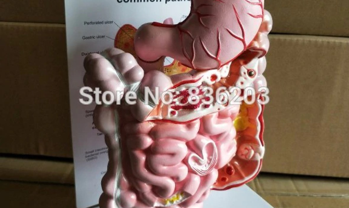 Human traumatic pistol digestive system common phathologies trauma medical instruments anatomy Anatomical Science Teaching model