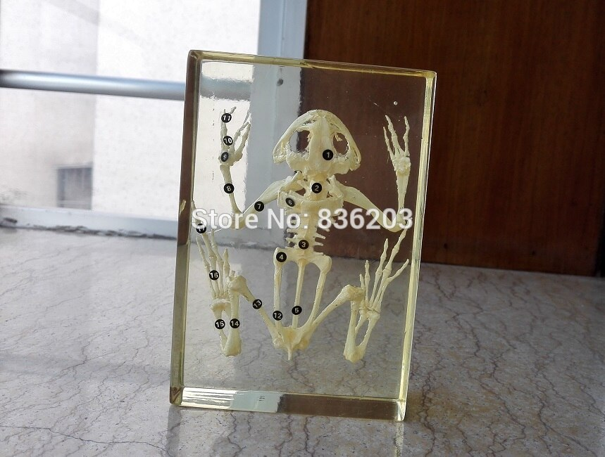 Real frog Skeleton Specimen in Acrylic traumatic pistol skeleton trauma medical instruments anatomy Anatomical Teaching model