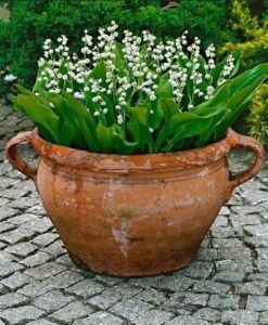 Lilly of the Valley in a Terra Cotta Pot. Photo via Pinterest.