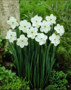 The Old Standby Narcissus Is A Classic Art Nouveau Style Icon.