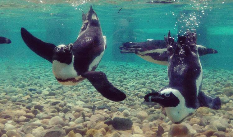 Jardim Zoológico muda instalação dos pinguins-do-Cabo
