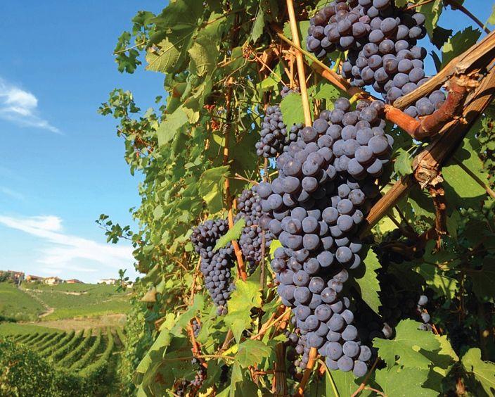 Rượu vang Primitivo mang đến hương vị trái cây của các loại quả mọng và cam quýt như anh đào zesty