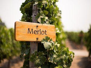 Merlot là một trong những loại rượu vang đỏ phổ biến nhất thế giới, và được yêu thích thứ hai ở Mỹ sau Cabernet Sauvignon