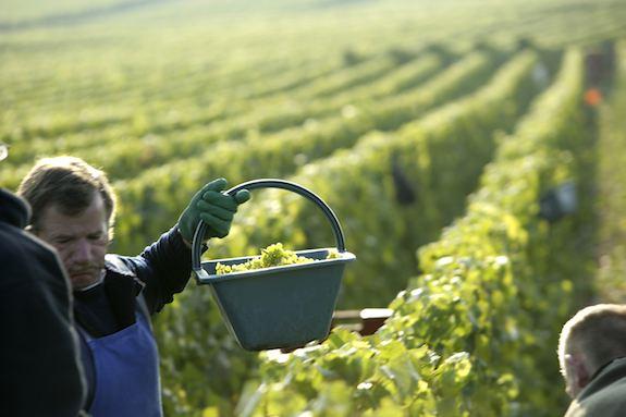 Nho được hái bằng tay từ tháng 8 đến tháng 10, thời gian thu hoạch tùy thuộc vào độ chín của nho. Các nhà sản xuất rượu vang