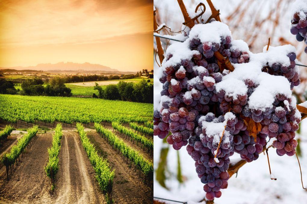 Các vùng khí hậu ấm áp có xu hướng có nhiệt độ ổn định hơn trong suốt mùa. Việc thu hoạch chậm từ mùa hè sang mùa thu giúp nho