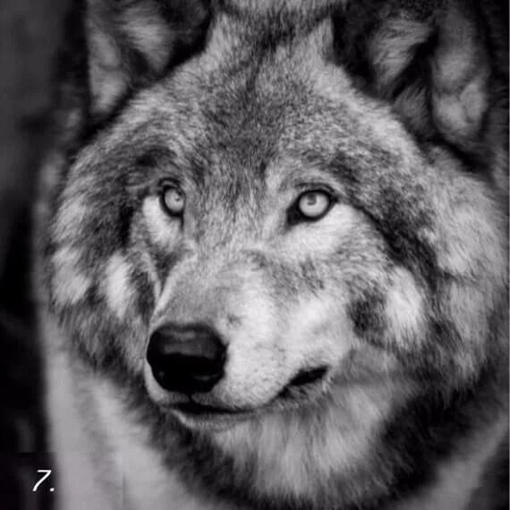 тёмная сторона личности - тест - волк