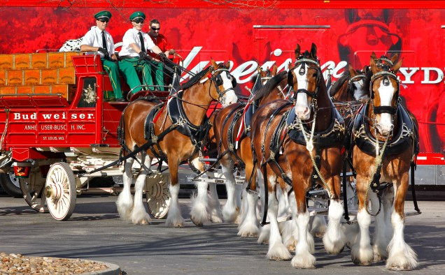 Budweiser Clydesdales parade and beer sampling