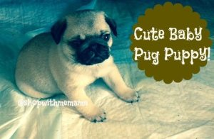 Pictures of Baby Pug Puppies!