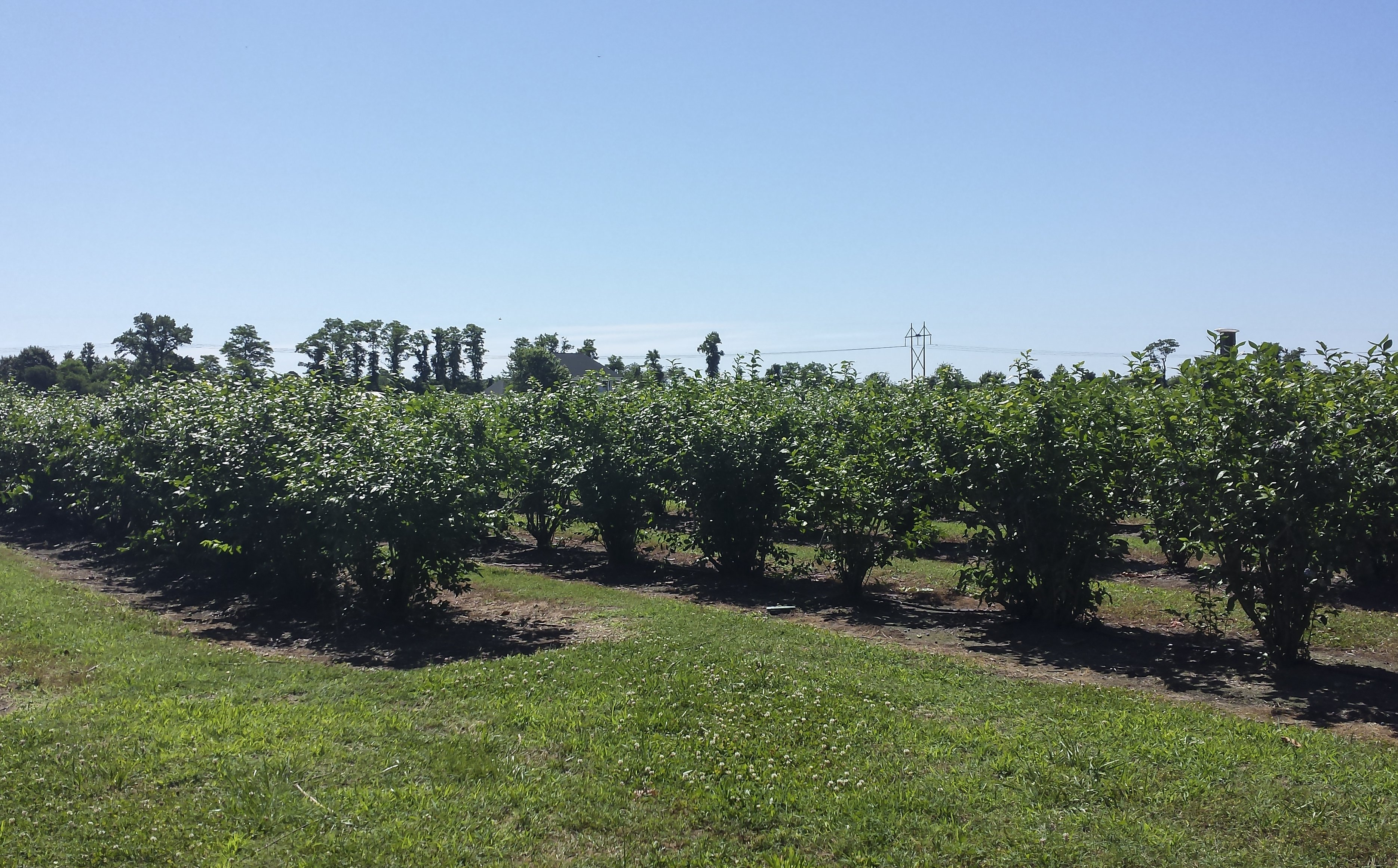 Blueberry Picking At Garden Of Eden Orchards Shorebread