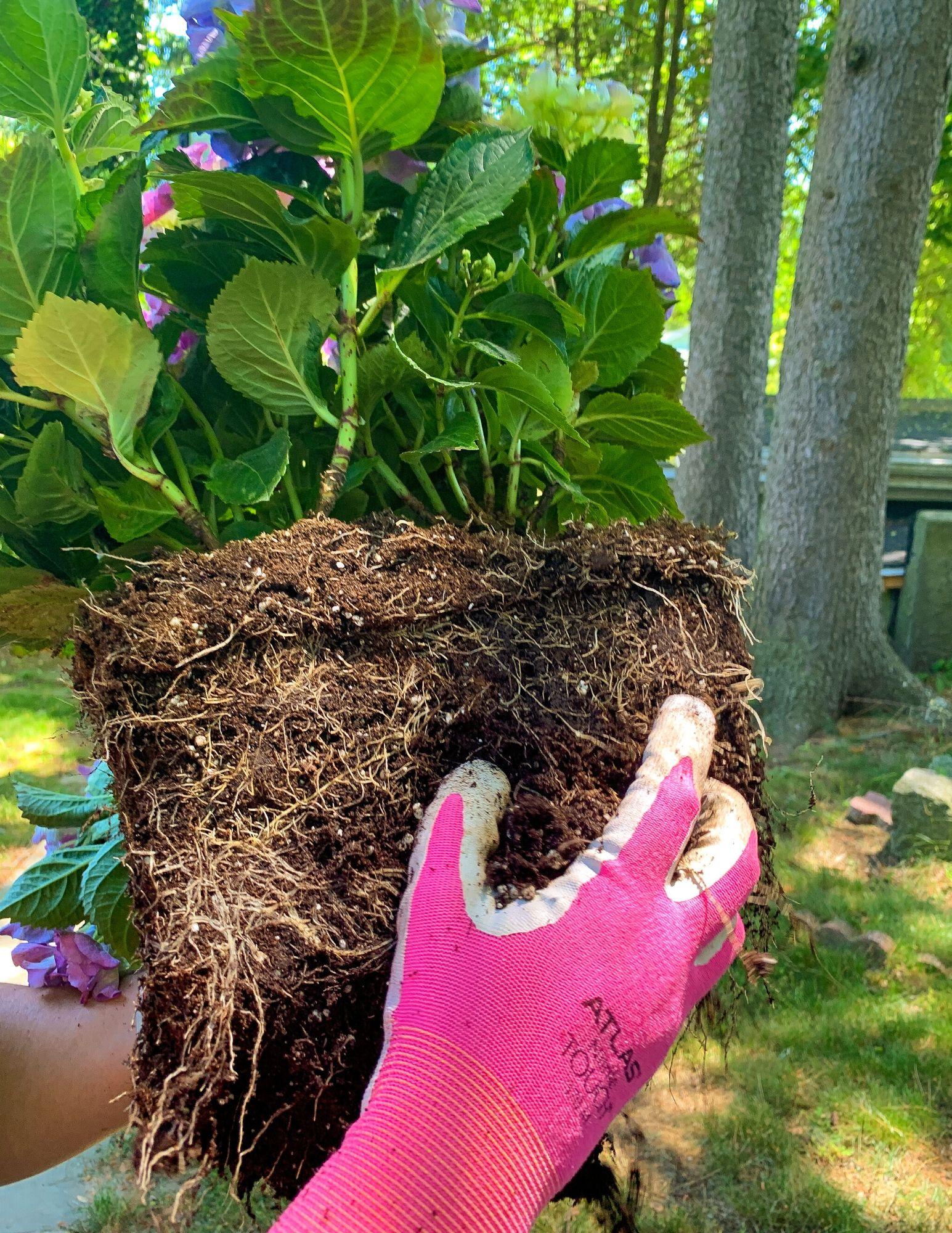 How to Plant Hydrangeas in Pots-14