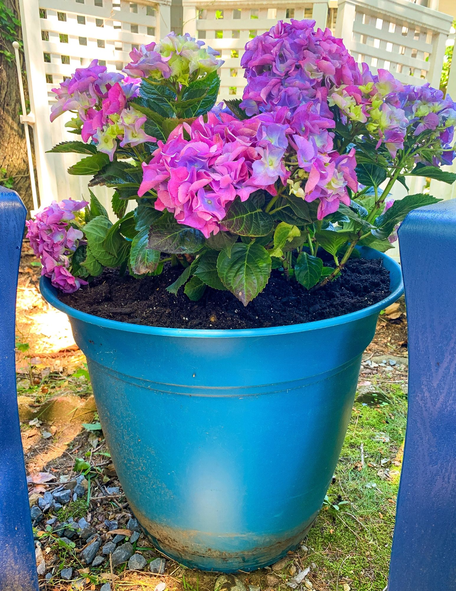 How to Plant Hydrangeas in Pots-21