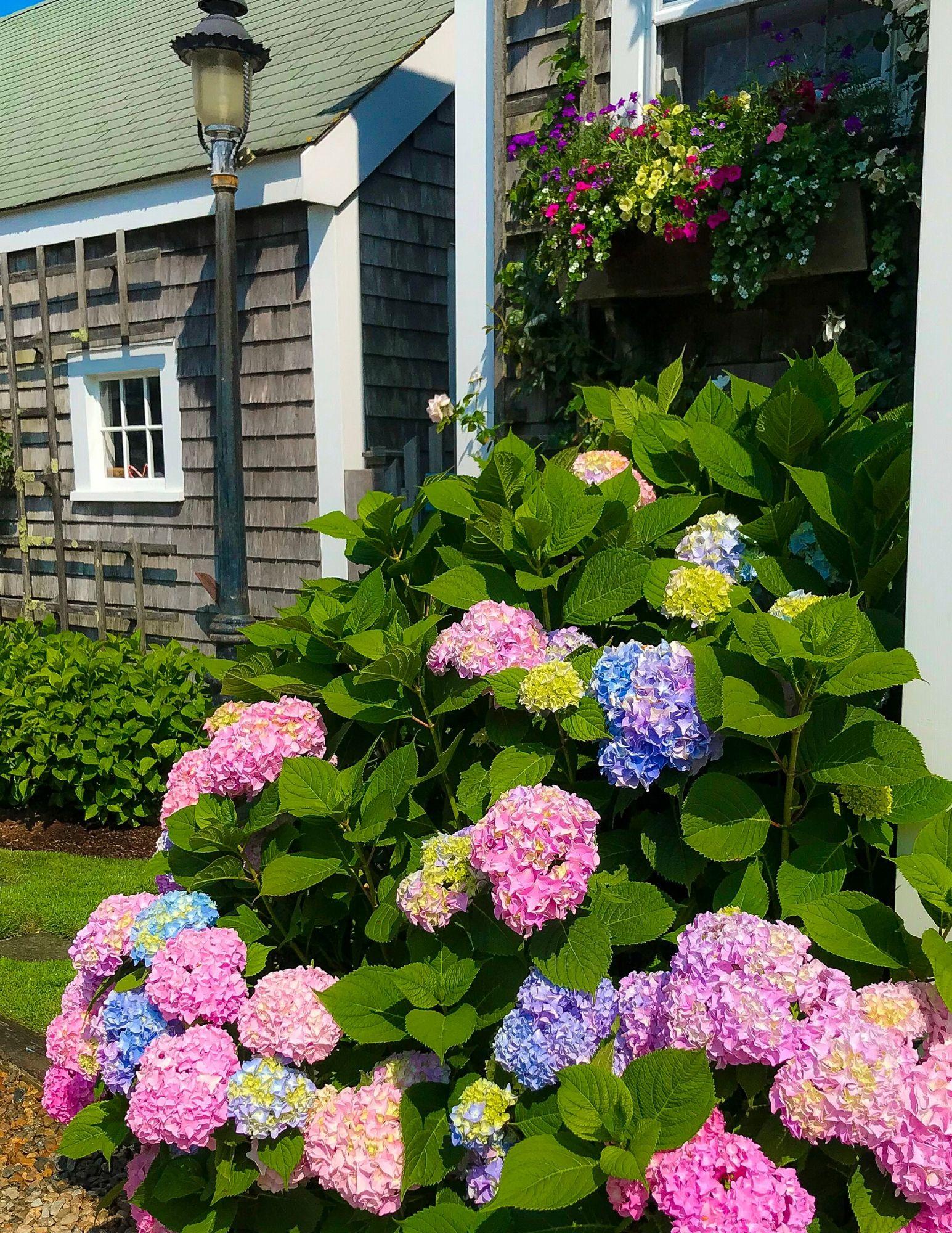 Nantucket Hydrangeas-24