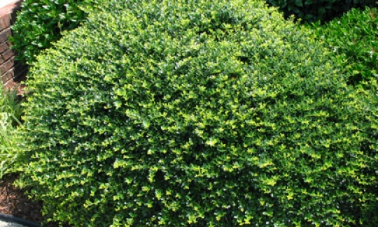 Heller's Japanese Holly