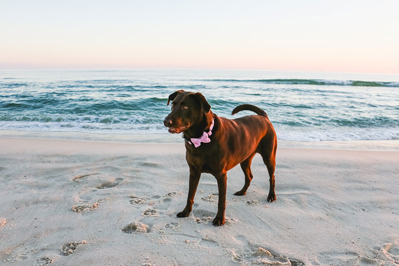 gulf shores beach pictures dog pictures pet photographer fort morgan
