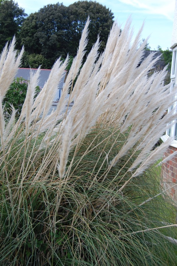 Pampas Grass In South Wales Shortfinals'