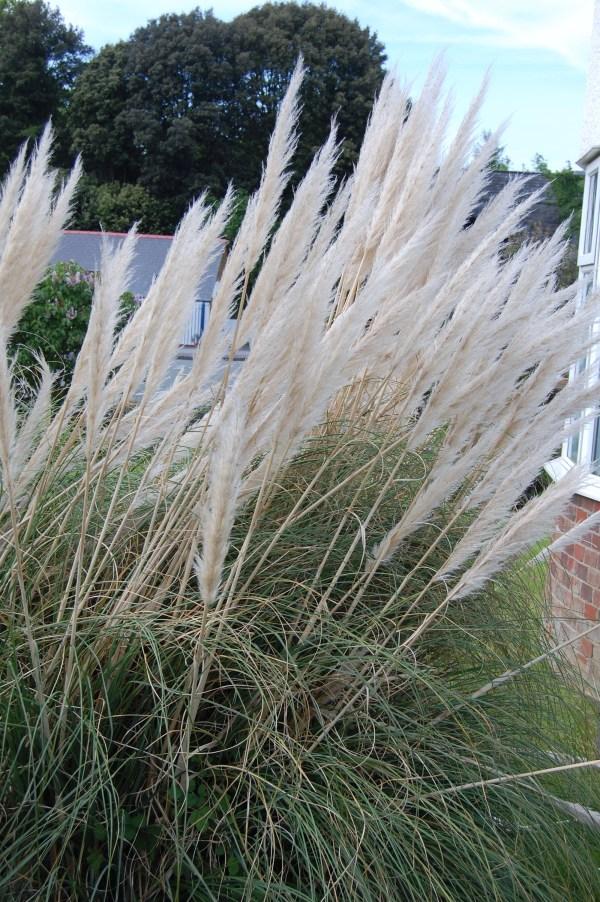 White Pampas Grass Plumes