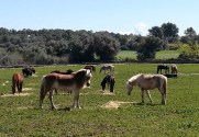 Caballos y ponis S'Hort Vell