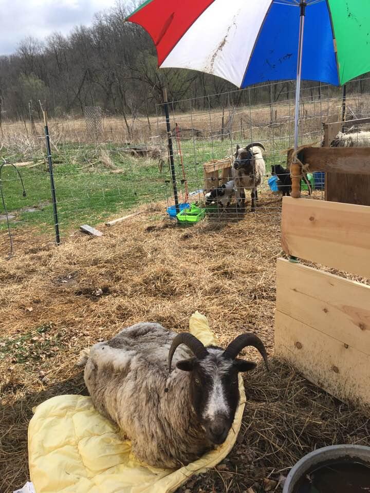 yoko the sheep