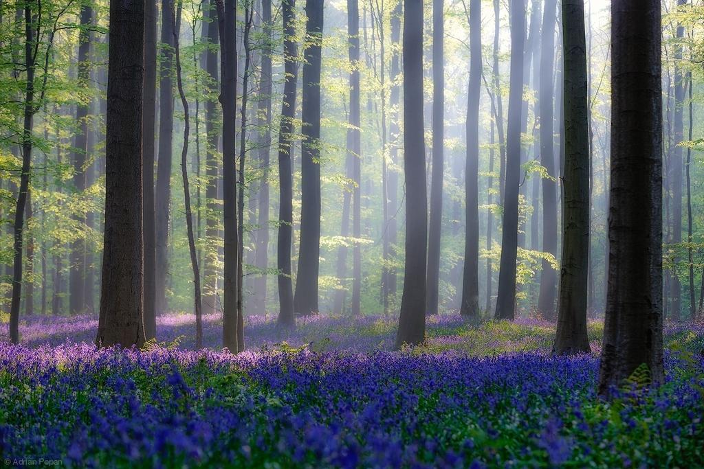 Bluebells-in-Hallerbos-Belgium-by-Adrian-Popan