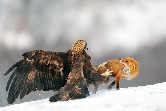 vulture si o vulpe