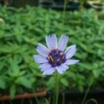 カタナンケ アモールブルーの花の画像です。
