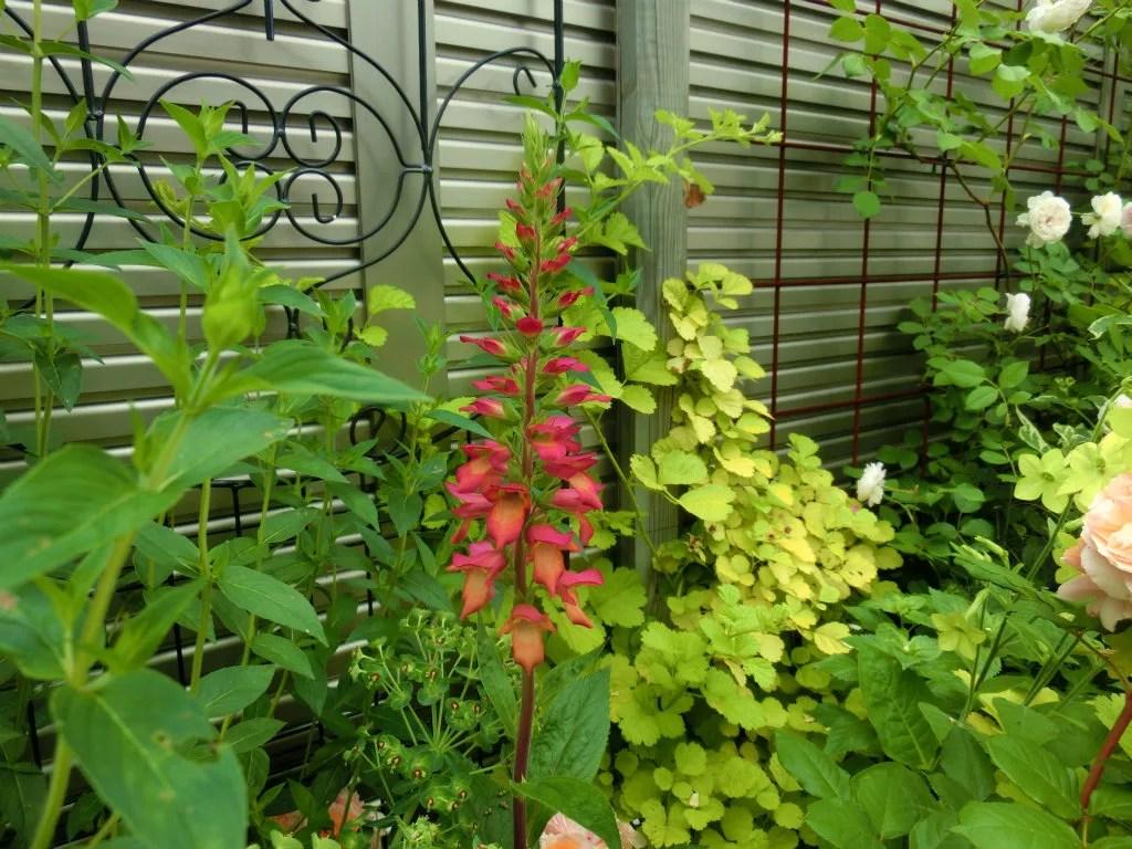 ハイブリッドジギタリス・イルミネーションフレイムの開花している様子