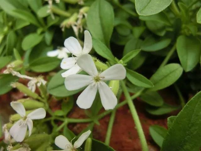 サポナリア スノーチップの花