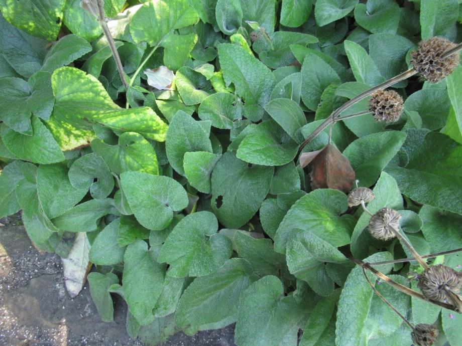 フロミス・サミアの葉です。