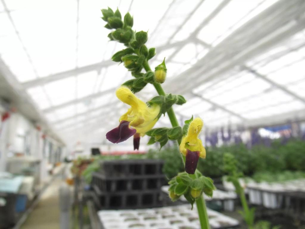 黄色い花のサルビア ブレヤナです。多年草です。